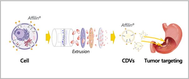 Affilin Mediated Cdvs